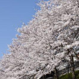 柴犬もまったり、晴天に恵まれた満開の桜の様子