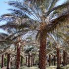 palm-plant
