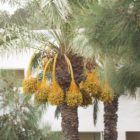 palmtree-with-dates