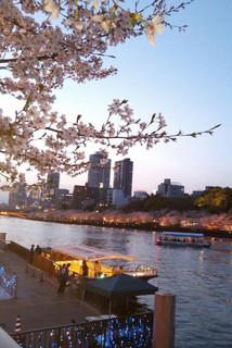 大阪市内の川沿いに咲く桜並木と観光船
