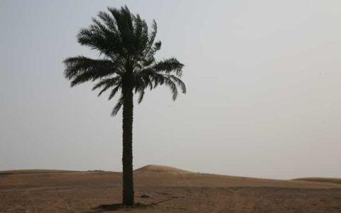 砂漠に一本だけ立つナツメヤシの木