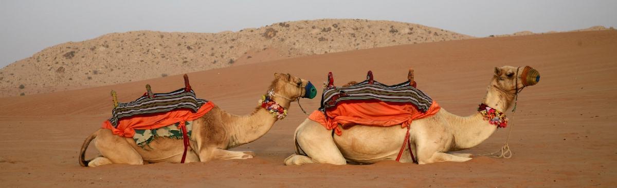 砂漠で座って休息する客を乗せる鞍を着けた2頭の一こぶラクダ